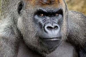harry the gorilla dies in dublin zoo, officials say