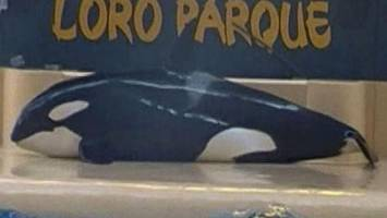 killer whale 'tries to kill herself'