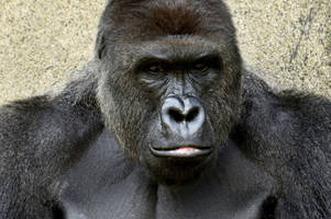 Cincinnati Zoo Gorilla: Mother Of Child To Avoid Legal Action