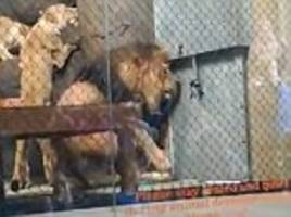 oregon zoo lion's tail is chopped off after getting caught in closing enclosure door