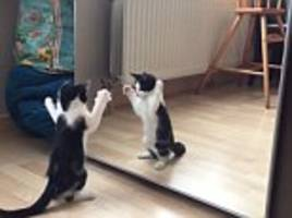 mirror mirror on the wall, who's the furrest of them all? footage shows vain little kitten in awe of its own reflection