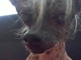2016 'ugliest dog' contest: and the winner is...