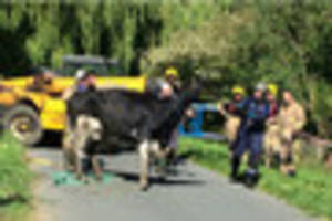 pregnant cow stranded in ditch near tewkesbury