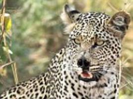Leopard with a nose injury looks like Voldemort