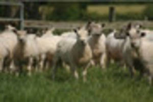 sheep asbos: shepherds could face ban from leaving livestock in...