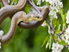 why snakes are so long: scientists discover that a gene in serpents is 'switched on' for longer - and it could help people with spinal injuries