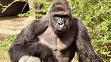 Harambe the gorilla: Cincinnati Zoo deletes Twitter account
