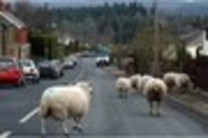 forest of dean sheep 'asbo' row escalates as conservation group...
