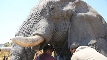 african elephant numbers drop by a third