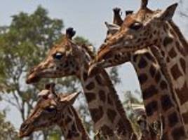 the giraffe's genetic secrets revealed: scientists find there are four distinct species, not just one