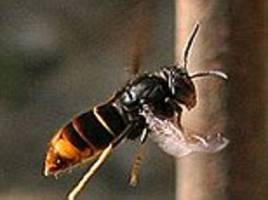 bee-killing asian hornets have arrived in britain: first sighting is confirmed close to prince charles' honey hives