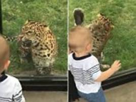 Growling leopard tries to EAT toddler by leaping at glass in zoo – but little boy thinks it's hilarious