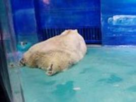 Will the 'world's saddest polar bear' be rehomed in Doncaster? Yorkshire wildlife park offers to move Pizza from the cramped Chinese cell that drew global criticism
