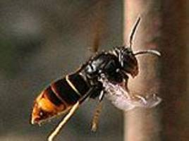 bee-killing asian hornets have arrived in britain