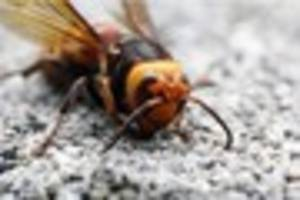 regional news: asian hornet sighting confirmed in south west