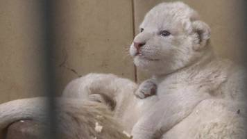 Four rare white lions cubs born in Poland