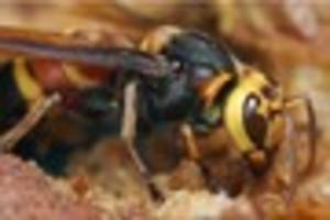 Are killer Asian hornets on their way to Hull?