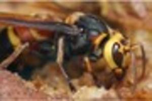 what does an asian hornet look like?
