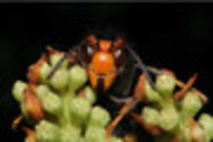 'I think I found an Asian hornet in Hucclecote - so I killed it...