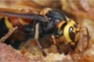 south devon residents urged to report sightings of asian hornet...