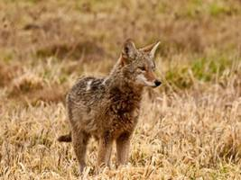 Coyotes Need to be 'Hazed' in Stamford: Wildlife Expert