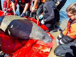 lonely manatee rescued off cape cod 'doing great,' eating lettuce
