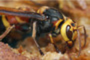asian hornets are here in the south west - all you need to know...