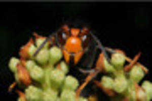 'several' asian hornets caught by beekeepers since shock arrival...
