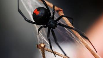 Spider bites Australian man on penis again