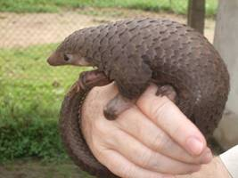 Pangolin: The World's Most Trafficked Animal Finally Gets Protection