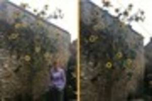 frome lady believes she may have grown somerset's largest...