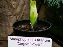 zoo's reeking 'corpse flower' blooms — but only briefly