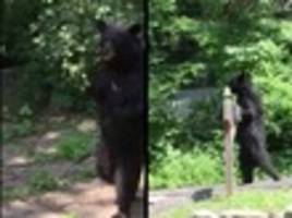 Report: Pedals, New Jersey's Beloved Upright Walking Bear, Assassinated