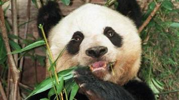 'Oldest' panda in captivity Jia Jia dies at the age of 38