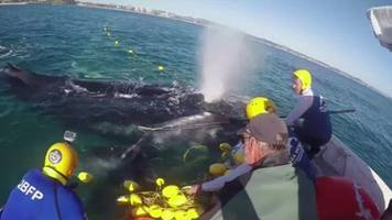 humpback whale caught in shark nets