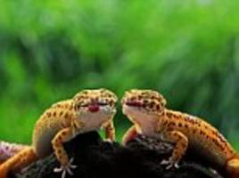 pair of cheeky leopard geckos stick out their tongues for the camera in indonesia