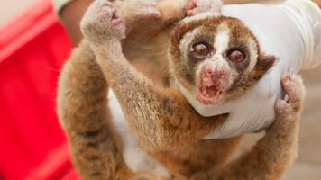 Indonesian lorises 'saved from sale on Facebook'