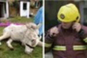 38-year-old donkey, troy, saved by fire crews after it slipped...