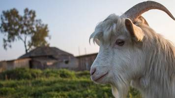 chicago cubs' 'billy goat curse': cubs to face cleveland indians in world series