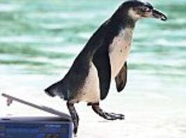 humboldt penguin becomes the indian harambe: politicians in poster war after penguin brought to mumbai from south korea dies in city's stifling temperatures