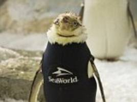 seaworld orlando's 'naked' penguin gets special wetsuit after feather loss