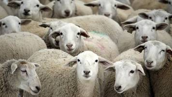 north wales sheep thefts by 'organised criminal gangs'