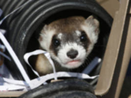 Rare ferrets settling in, making babies at new Colorado home