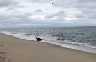 Great white shark attacks grey seal feet from shore on Cape Cod beach; graphic video