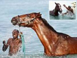 and they're off... for a bath! horses are given a scrub in the sea ahead of celebrations to mark the 50th anniversary of barbados's independence