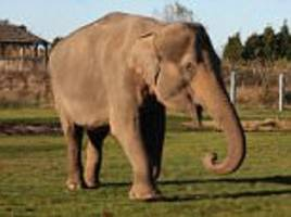 elephant beaten with canes by keepers at british zoo 4 years ago is put to sleep aged 32