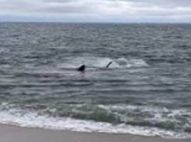 Seal escapes from great white shark's jaws after being attacked at Cape Cod