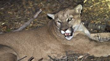 Anger erupts over California mountain lion hunt