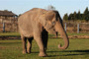 twycross zoo elephant dies after health battle
