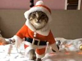 feline festive! adorable videos show tabby cats dressing up as santa claus, pirates and policemen